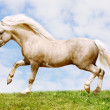 Pony stallion - Stock Photo