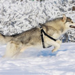 Husky jumping — Stock Photo #2070336
