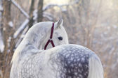 Orlov trotter stallion — Stock Photo