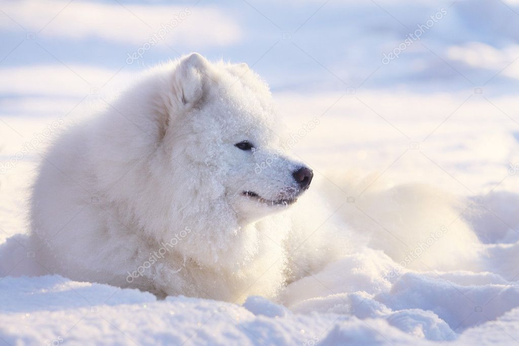 Samoyed dog in snow | Stock Photo © Maria Itina #2070800