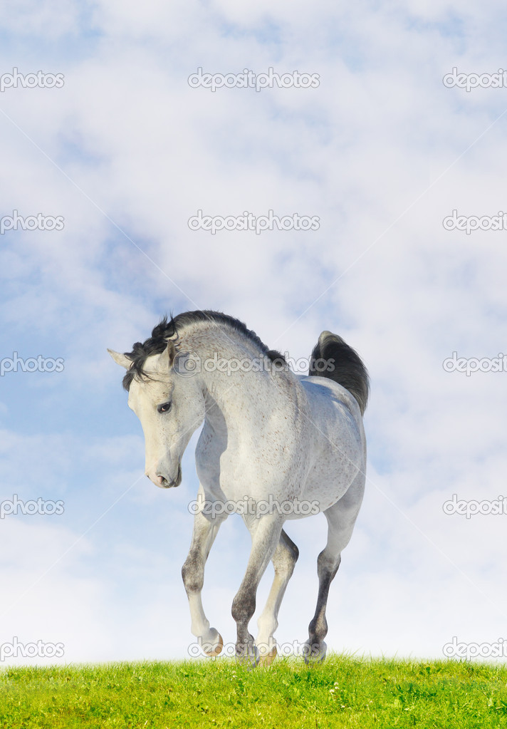 Arab horse — Stock Photo #2402570
