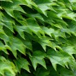 Ivy green leafs — Stock Photo