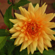 Yellow-Orange Dahlia — Stock Photo #1219681