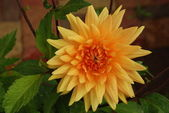 Yellow-Orange Dahlia — Stock Photo