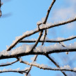 Snow branch — Stockfoto