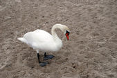 Swan on a sea beach — Stock Photo