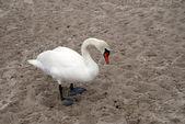 Swan on a sea beach — Stock Photo