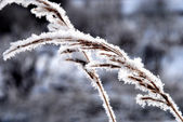 The branch covered by hoarfrost — Stock Photo