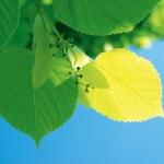 gałęzi lipy — Zdjęcie stockowe