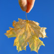 Yellow maple leaf in a hand — Stockfoto