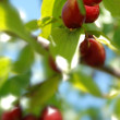 Stock Photo: Cornelian cherry tree