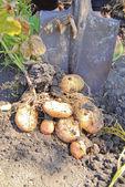 Oogst van aardappelen — Stockfoto