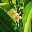 Frangipani — Stock Photo #1165616