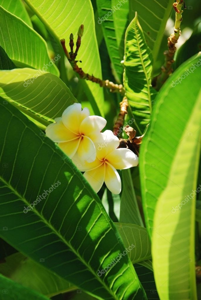 Frangipani tropical flowers, green leafs, nature series. — Stock Photo #1165616