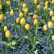 Tulips and forget-me-not — Stock Photo