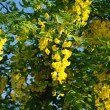 Yellow acacia — Stock Photo