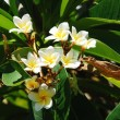 Frangipani — Stock Photo #1282952