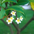 Frangipani — Stock Photo #1282953
