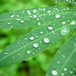 Stock Photo: Water drops on fresh green leaves