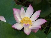 Flor de loto tierno — Foto de Stock