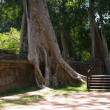Cambodian tree — Stock Photo