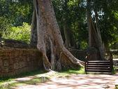 Cambodian tree — Stock Photo