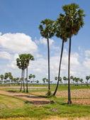Cambodian palms — Stock Photo