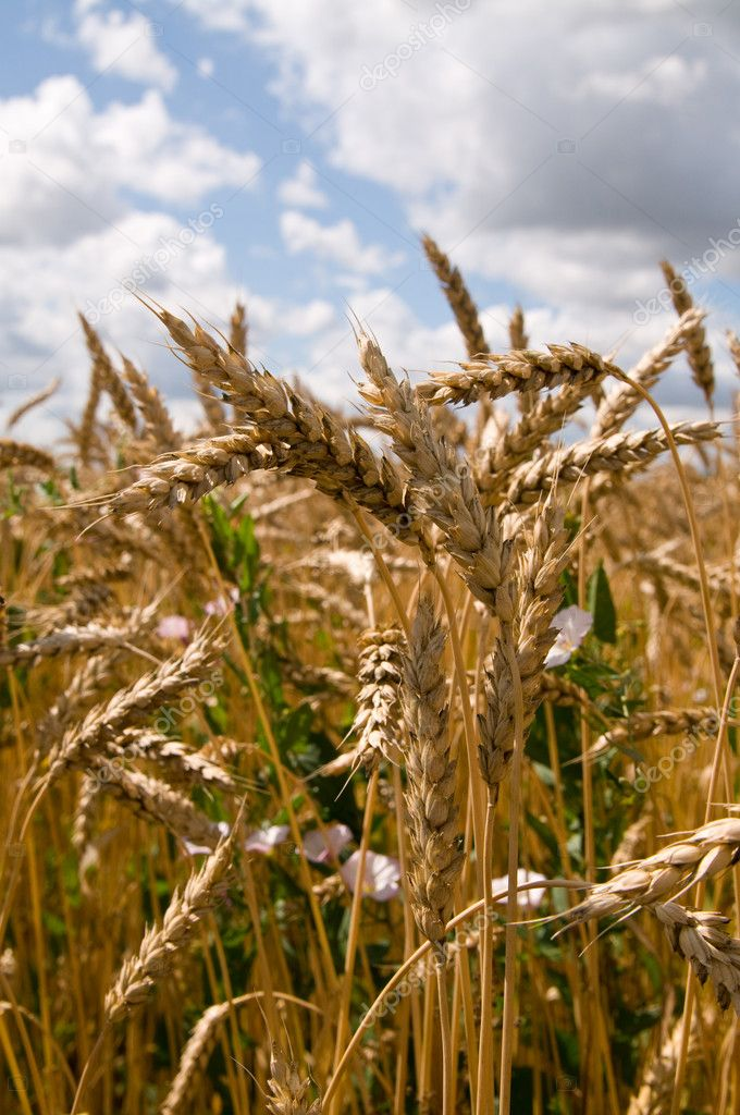 Russian field crops  Stock Photo #1187182