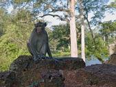 Wild monkey from siem riep — Stock Photo