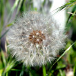 Dandelion — Stock Photo #1215147