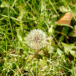 Anthodium of dandelion. — Stock Photo #1217171