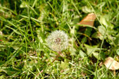 Anthodium of a dandelion. — Stock Photo