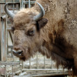 Stock Photo: Mammal. Yak. Rostov zoo. Russia