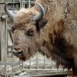 Mammal. Yak. The Rostov zoo. Russia — Stock Photo