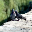 Love games of pigeons on a parapet — Stock Photo