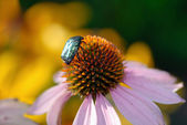 The silvery bug manures on a flower. — Stock Photo