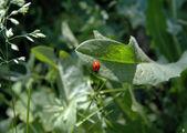 Coccinelle su una foglia verde d'erba — Foto Stock