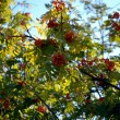 Photo: Branch of Mountain ash.