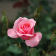 Pink rose with three buds. - Stock Photo