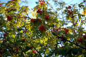 Branch of the Mountain ash. — Stock Photo