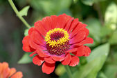Red flower. — Stock Photo