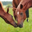 Stock Photo: Arabimare and foal at pasture