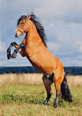 Rearing stallion on the autumn backgroun — Stock Photo