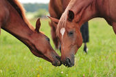 Arabian mare and foal at pasture — Stock Photo