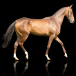 Akhal-teke horse isolated — Stock Photo