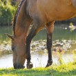 Stock Photo: Akhal-teke horse grazing near water