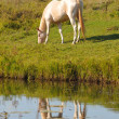 Perlino akhal-teke horse grazing — Stock Photo