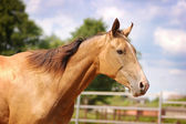 Golden akhal-teke horse portrait — Stock Photo