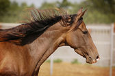 Akhal-teke horse portrait — Stock Photo