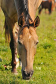 Akhal-teke horse grazing — Stock Photo